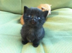 Super cute!! #kitten #blackkitten