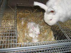 Rabbit Hutch Plans For Breeding Rabbit