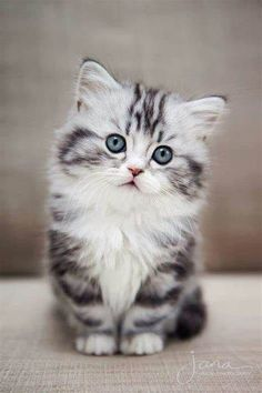 Cat love 🧡🧡🧡 cuddly cats - Cats and kittens - cute kitten - baby cat - beautiful cats - cat too cute # chatmart - ChatJadore 💛/Thème Chats - - Amour de chat 🧡🧡🧡 chats calin – Chats et chatons- chaton mignon -bébé chat -beaux chats- chat trop mignon Fluffy Kittens, Kittens And Puppies, Cute Cats And Kittens, Adorable Kittens, Ragdoll Kittens, Tabby Cats, Bengal Cats, Images Of Cute Kittens, Siamese Cats