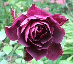 rosa species - Google Search