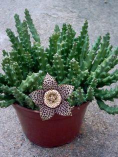Orbea variegata (Stapelia variegata) – Starfish Plant, Carrion Flower, Toad Plant