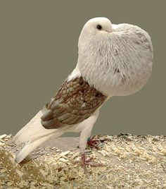 The Voorburg Shield Cropper is a breed of fancy pigeon developed over many years of selective breeding. Voorburg Shield Croppers, along with other varieties of domesticated pigeons, are all descendants from the rock pigeon (Columba livia). This breed was developed by C.S.T. Van Gink at Voorburg in the Netherlands in 1935.