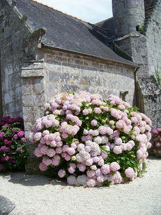 Beautiful hydrangeas in full bloom in Bretagne, France. Hortensia Hydrangea, Hydrangea Garden, Pink Hydrangea, Peonies Garden, Outdoor Plants, Outdoor Gardens, Cottage Garden Design, Bloom, Flower Aesthetic