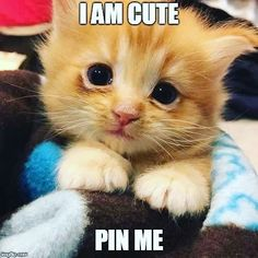 i am cute – Pet Lovers , animal pictures, cat memes, - crazy cats Kittens And Puppies, Cute Cats And Kittens, Baby Cats, Kittens Cutest, Cute Puppies, Yorkie Puppies, Cute Animal Memes, Cute Animal Pictures, Cute Funny Animals