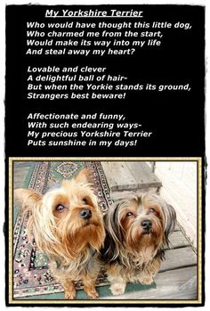 Loved this sweet poem about a breed that's become so popular for good reason. My Yorkshire Terrier ♥ ♥ I must agree and add that the rescued yorkies are the best , like my two sweeties! Yorkies, Yorkie Puppy, Chihuahua, Yorshire Terrier, Silky Terrier, Chien Yorkshire Terrier, Yorkshire Puppies, Cute Puppies, Cute Dogs