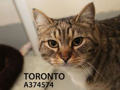 Toronto (ID: A374574) is a friendly and affectionate tabby girl. She comes right up for pets and launches into a purr-fest for her petting session. Toronto has a tiny bit of a grumpy cat look in her photos – she is anything but! Come meet this true sweetie and see if you are Toronto bound.