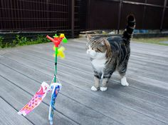 Kodomo no Hi (Children's day) and Maru the cat (very famous Japanese cat)