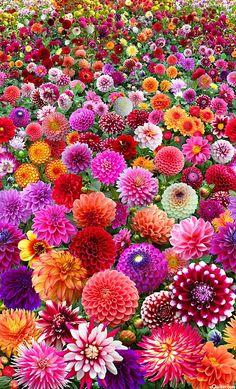 #Jardín de #dalias de distintos #colores. #floralinspiration