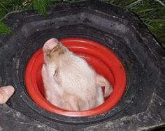 A traffic cone proved to be the ideal place to keep a rescued piglet Norfolk, Animal Rescue, Pets, Animals, Animales, Animaux, Animal Welfare, Animal, Animais