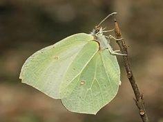 Sitruunaperhonen, Gonepteryx rhamni - Perhoset - LuontoPortti
