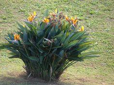 Subtropical Plants – Strelitzia reginae, Bird of Paradise Antirrhinum, Birds Of Paradise Plant, All Flowers, Flower Power, Planting Flowers, New Zealand, Flora, Exotic, Compost