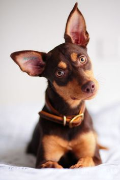 Yeti, the Kelpie gives the cutest head tilt when she is curious about something.