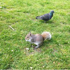 Pigeon et Ecureuil de Hyde Park, Londres