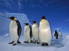 papel de parede Pinguins