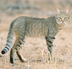 African wildcat [Felis silvestris lybica] has a slim, lithe build looking much like a miniature cheetah. The fur is shorter than of the European wildcat, and it is considerably smaller. Small Wild Cats, Small Cat, Big Cats, African Wild Cat, African Cats, African Elephant, Animals Beautiful, Cute Animals, Wild Animals