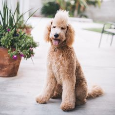 Goldendoodle golden doodle Mohawk. Benelli. Puppy. Golden retriever poodle mix. Haircut.