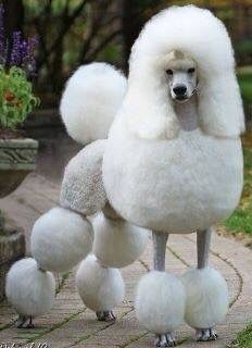 Standard Poodle English Saddle With Curly Pack Standard