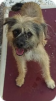 Apache Junction, AZ - Border Terrier Mix. Meet Zoey, a dog for adoption. http://www.adoptapet.com/pet/17917302-apache-junction-arizona-border-terrier-mix