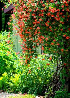 Honeysuckle vine | Photo by TDSwhite