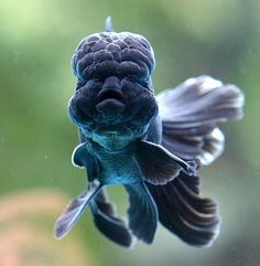 tiny-creatures:  Black Goldfish by Chi Liu on Flickr.