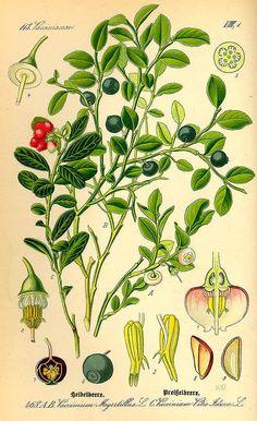 149488 Vaccinium myrtillus L. / Thomé, O.W., Flora von Deutschland Österreich und der Schweiz, Tafeln, vol. 4: t. 468, fig. A,B (1885)