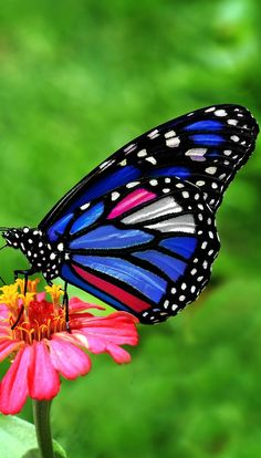 Blue Butterfly Discover A beautiful butterfly A beautiful butterfly. Beautiful Butterfly Pictures, Butterfly Images, Beautiful Bugs, Butterfly Flowers, Beautiful Butterflies, Blue Butterfly, Butterfly Mobile, Butterfly Dragon, Paper Butterflies