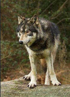 Canadian wolf by Neptuno Photography on Flickr