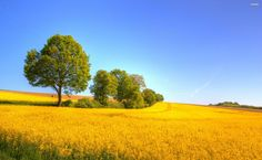 Yellow rapeseed field HD Wallpaper