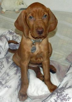 Vizsla puppies for sale, Here is maks. Description from dogbreedspicture.net. I searched for this on bing.com/images