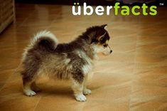 """This is a """"Pomsky"""" - A cross between a pomeranian and a husky. They stay about this size their entire life."""