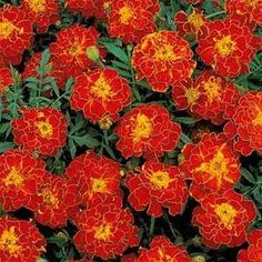 Outsidepride Marigold Red - 1000 Seeds by Outsidepride: Flower Seed. $4.99. Bloom Color: Red. Season: Annual. USDA Zones: 3 - 10. Height: 10 inches. Sowing Rate: 3 seeds per plant. Tagetes patula nana, or commonly referred to as French Marigold, is a treasured annual that brightens up any landscape setting. This variety, Double Brocade Red, is 10 inches in height and produces bi-colored blooms in colors of red and yellow. The blooms are semi-double and flat. These are perfect f...