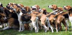 American Fox Hound dog photo | English Foxhound | DOGS, PUPPIES, NAMES, BREEDS, TRAINING AND GROOMING