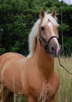 Palomino saddlebred stallion- red base with one dilute gene. Dark skin, flaxen mane and tale, yellowish to dark golden body color.