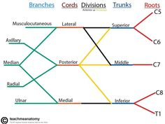 structure of the brachial plexus