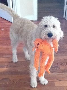 Harry Howard the Labradoodle and his favorite orange monkey!