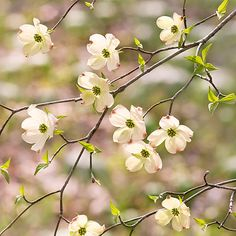 Flowering Yellow Dogwood . . . have one of these in the front yard.  So pretty.