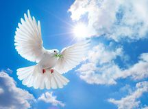 Dove In The Air With Wings Wide Open - Download From Over 60 Million High Quality Stock Photos, Images, Vectors. Sign up for FREE today. Image: 11704123