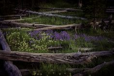 """""""Lost In The Woods""""  Wilderness and mountain lupine in Yellowstone National Park. For a better view please click on the photo. Image created by Paul W. Koester. Enjoy and Pin!!!"""