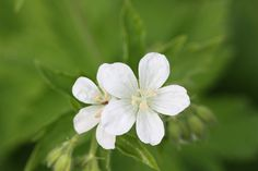 Geranium sanguineum 'Album' - good for ground cover, likes shade, flowers May - July