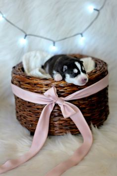 Cutest Newborn Puppy  Siberian Husky Cassandra E.G. Photography