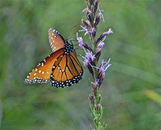 DSC02866 Queen Butterfly on Liatris acidota