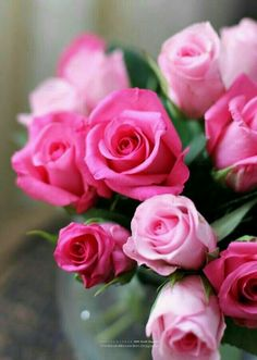 beautiful pictures of pink roses