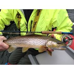 "April 24, 2012 Fishing Report (Cowichan River, BC): ""The last week has been an excellent start to the Fly Fishing season on the Cowichan River.  We have been focusing mainly on the Upper Cowichan river for brown trout and rainbows and there has been a large mayfly and stonefly hatch around noon everyday.  Resulting in lots of rainbows and browns taking our dry fly's.  The rainbows are everywhere, the brown trout are actively feeding near the banks and can also be found in deeper water (if…"