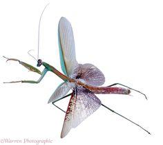 http://www.warrenphotographic.co.uk/photography/bigs/03451-Japanese-mantis-flying-white-background.jpg