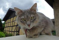 Duchesse la belle petite chatte de la voisine d'une cliente ...