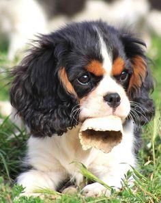 Cavalier King Charles Spaniel – Graceful and Affectionate King Charles Spaniel, Cavalier King Charles Blenheim, King Spaniel, King Charles Puppy, Spaniel Puppies, Cute Puppies, Cute Dogs, Roi Charles, Cute Funny Animals