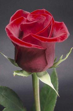 2942 Mejores Imagenes De Hermosas Rosas En 2019 Rose Trees