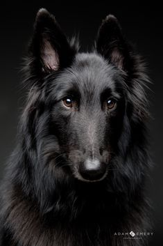 Dog Breeds Gorgeous Tervuren More - Big Dogs, I Love Dogs, Cute Dogs, Dogs And Puppies, Doggies, Animals And Pets, Cute Animals, Jungle Animals, Belgian Shepherd