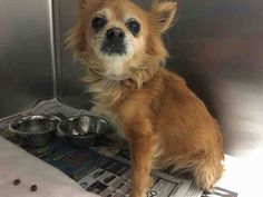 """4/17 BONDED PAIR SENIORS✿⊱✿⊱✿ CARSON, CA PELUSA-ID #A5045429 -FEMALE-12-YEAR-CHIHUAHUA <3 <3 #SAVE #A #LIFE ❤️ #PLEASE #FOSTER #OR #ADOPT #BONDED """"My Name Is PELUSA & I'm An Approximately 12-Year-Old Female Chihuahua. I Am Not Yet Spayed. I Have Been At The Carson Animal Care Center Since March 30, 2017. I Will Be Available On March 30, 2017. You Can Visit Me At My Temporary Home At C409. My Former Family Who Owned Me, Had To Give Me Up Because Their Landlord Wouldn't Allow Me."""""""