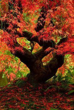 érable japonais, une beauté mystique